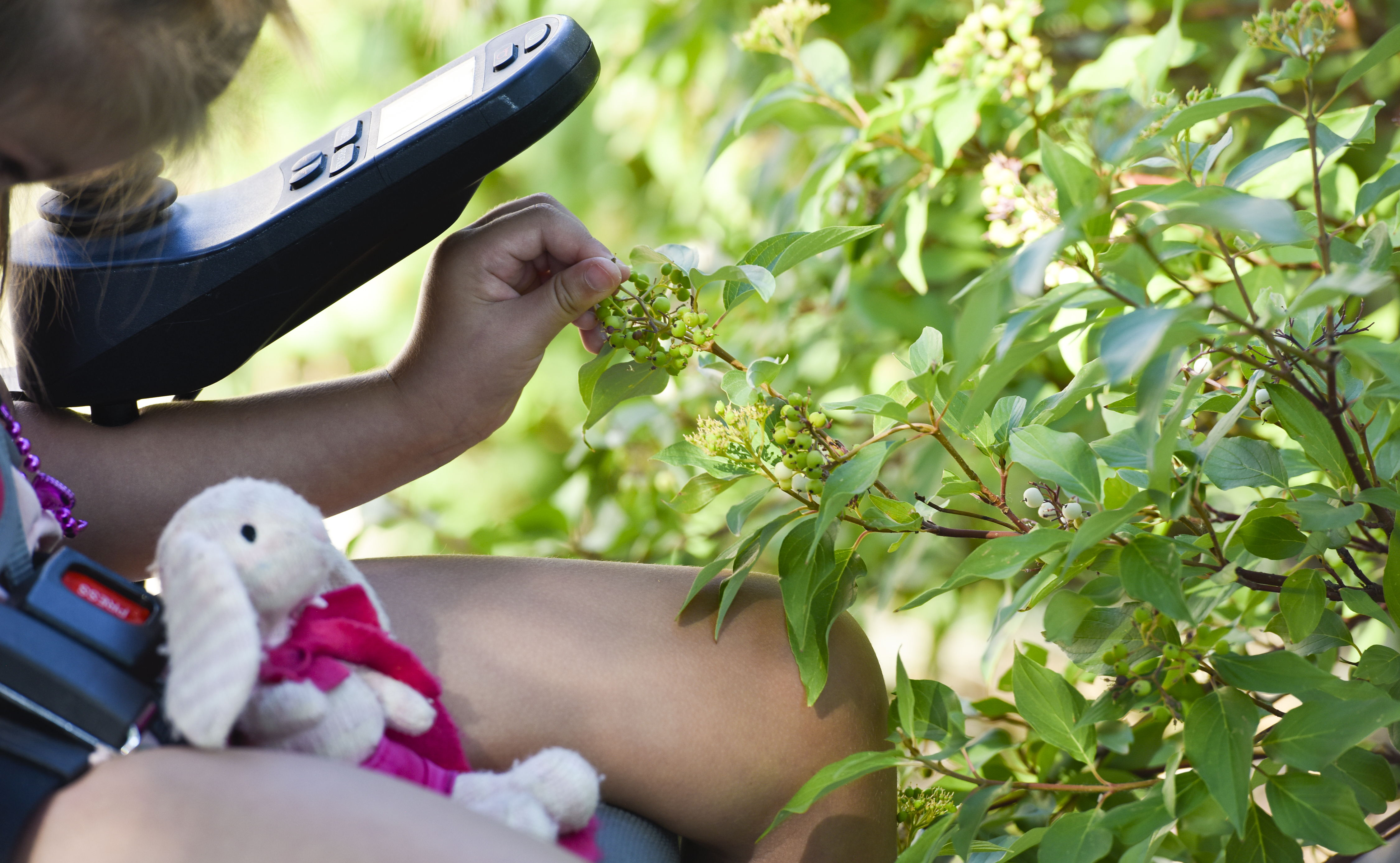 a young child uses her wheelchair to play with petal on a shrub.